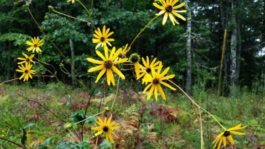 Rough Sunflower (Helianthus hirsutus)