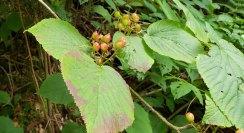 Hobble Bush (Viburnum lantanoides) Fruit