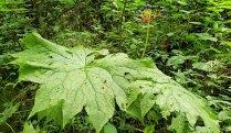 Umbrella Leaf (Diphylleia cymosa) Fruit