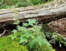 Rock Alumroot (Heuchera villosa)