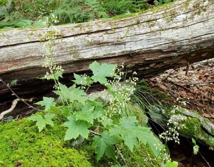 Rock Alumroot (Heuchera villosa)