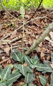 Downy Rattlesnake Plantain (Goodyera pubescens)