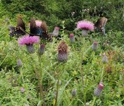 Thistles & Eastern Tiger & Pipevine Swallowtail Butterflies