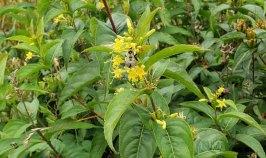 Smooth Southern Bush Honeysuckle (Diervilla sessilifolia)