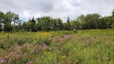 Masses of Carolina Phlox (Phlox carolina) & Green-headed Coneflower (Rudbeckia laciniata)