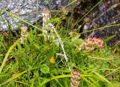 Sticky Asphodel (Triantha glutinosa)