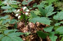 Doll's Eyes (Actaea pachypoda) Fruit