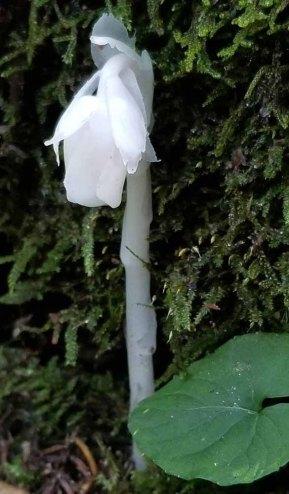 Ghost Flower (Monotropa uniflora)