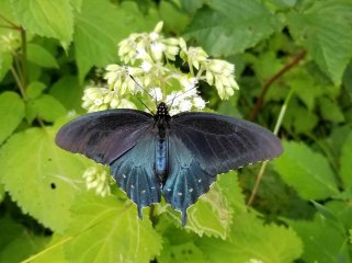 Pipevine Swallowtail Butterfly on White Snakeroot (Ageratina altissima)