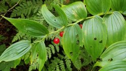 Rose Twisted Stalk (Streptopus lanceolatus v. roseus) Fruit