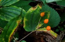 Yellow Mandarin (Prosartes lanuginosa) Fruit