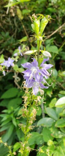Tall Bellflower (Campanula americana)