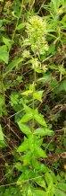 Mystery Plant - Possibly Wild Sweet William (Phlox maculata)