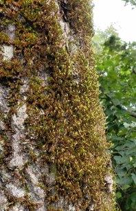Forsstroemia Moss (Forsstroemia trichomitria)