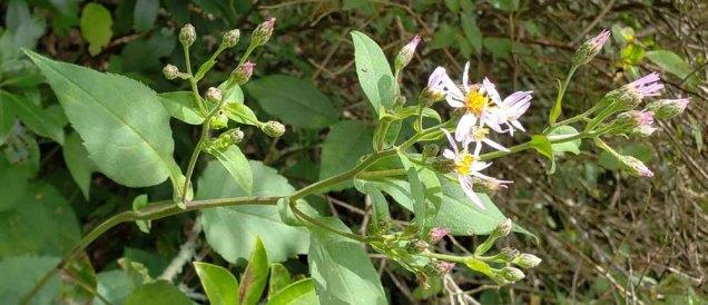 Possibly Wavyleaf Aster (Symphyotrichum undulatum)