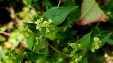 a False Buckweed (Fallopia sp.)