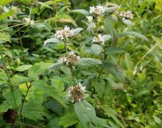 a Mint (Pycnanthemum sp.)