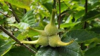 Beaked Hazelnut (Corylus cornuta) Fruit