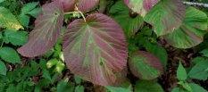 Hobble Bush (Viburnum lantanoides) Leaf