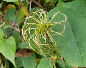 Northern Leatherflower (Clematis viorna) Fruit