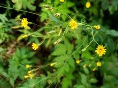 Panicled Hawkweed (Hieracium paniculatum)