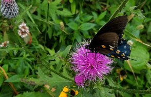 Pipevine Swallowtail on a Thistle (Probably Swamp Thistle, Cirsium muticum)