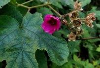 Purple-flowering Raspberry (Rubus odoratus)