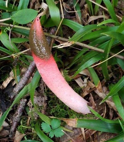 Devil's Stinkhorn (Phallus rubicundus)