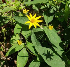 False Sunflower (Heliopsis helianthoides)
