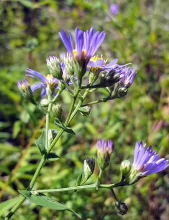 Late Purple Aster (Symphyotrichum patens) Involucres