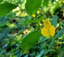 Pale Jewel Weed (Impatiens pallida)