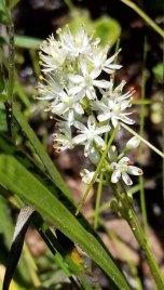 Sticky Asphodel (Triantha glutinosa) in Bloom