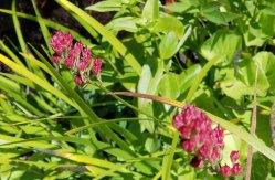 Sticky Asphodel (Triantha glutinosa) in Seed