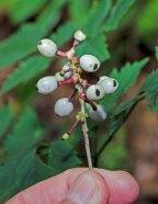 Doll's Eyes, White Baneberry (Actaea pachypoda)