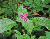 Red Turtlehead (Cheloni lyonii)