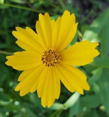 Star Tickseed (Coreopsis pubescens var. pubescens)