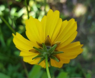 Star Tickseed (Coreopsis pubescens) Bracts