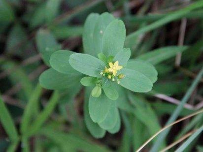 Dwarf St. John's-wort (Hypericum mutilum)