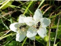 Flying Something on Grass-of-Parnassus (Parnassia asarifolia)