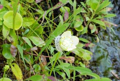 Grass-of-Parnassus (Parnassia asarifolia) & Spotted Apatelodes Caterpillar (Apatelodes torrefacta)
