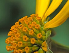 False Sunflower (Heliopsis helianthoides) Showing Forked Pistil at Base of Ray Flowers