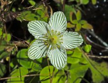 An Aging Grass-of-Parnassus (Parnassia asarifolia) With No Intruders