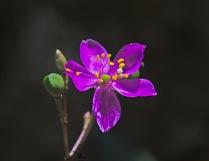 Fameflower (Phemeranthus teretifolius)