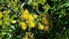 Bushy St. John's-wort (Hypericum densiflorum)