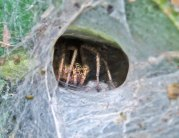 Funnel Web Spider Looking Hungry!