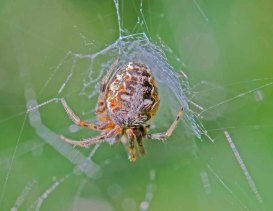 Arabesque Orbweaver (Neoscona arabesque) Spider