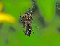 Arabesque Orbweaver (Neoscona arabesque) Spider