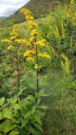 Possibly Late Goldenrod (Solidago gigantea)