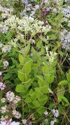 Roundleaved Thoroughwort (Eupatorium rotundifolium)