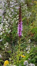 a Blazing Star (Liatris sp.)